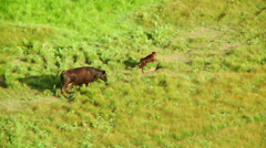 Calf running away from mother cow Stock Footage