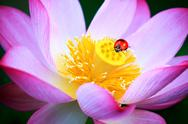 Stock Illustration of Ladybug on lotus  for adv or others purpose use