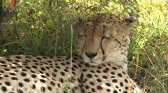 Cheetah sleeping Stock Footage