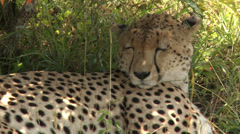 Cheetah sleeping 2 Stock Footage