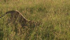 Cheetah stretching Stock Footage