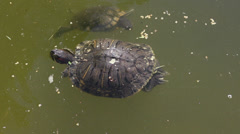 Turtles Swimming in Pond Stock Footage