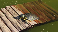 Turtle leaving the pond Stock Footage