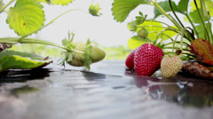 Picking strawberries at a local pick your own fruit farm plantation in Brazil. Stock Footage
