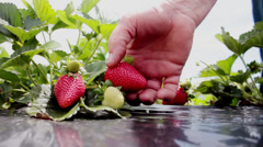 Picking strawberries at a local pick your own fruit farm plantation in Brazil. - stock footage