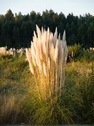 Pampas grass, cortaderia selloana in vertical composition Stock Photos