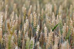 Harvest of cereal cultures in the field Stock Photos