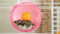 Hamster in a wheel Stock Footage