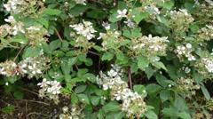 Deflorate blackberry bush in the rain small white petals closeup Stock Footage