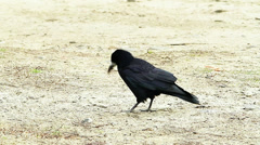 Rooks looking for food on the ground ( Corvus frugilegus) Stock Footage