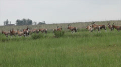 Bok Antelope Gazelle wildlife Stock Footage