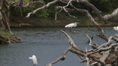 Water bird_three herons Stock Footage