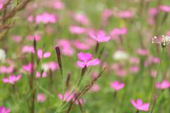 Wild pink carnation flowering in the field Stock Photos