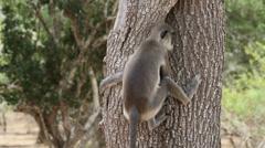 Gray Langur Monkey Stock Footage