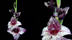 Dark red and white gladiolus flower blooming timelapse Stock Footage