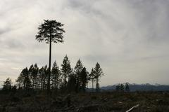 Tall tree among short trees at olympic peninsula with olympic mountain range in Stock Photos