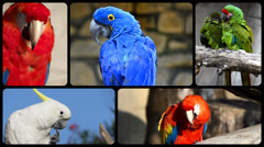 Parrots, collage Stock Footage