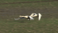 Stock Video Footage of Swans In Flight, Trumpeter Swans, Swans, Bird, Birds, Flock, Flying, Fly, Flight