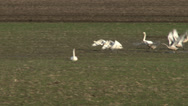 Stock Video Footage of Trumpeter Swans, Bird, Birds, Flock, Flying, Fly, Flight, 4K, UHD