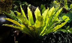 Bird's nest fern Stock Photos