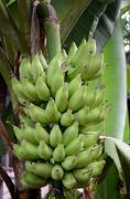 green banana on tree - stock photo