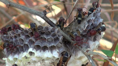 Oriental Hornet (Vespa orientalis, Linnaeus) - 9/10 Stock Footage