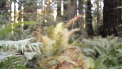 Redwood Grove, ferns, dolly shot Stock Footage