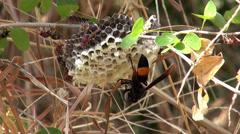 Oriental Hornet (Vespa orientalis, Linnaeus) - 4/10 Stock Footage