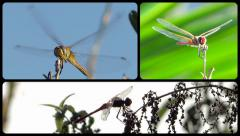 Dragonflies little angels Stock Footage