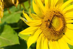 sunflower blossoming - stock photo