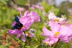 cosmos flowers and bee - stock photo