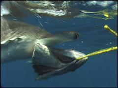 Scalloped Hammerhead Shark UW2 01 Stock Footage