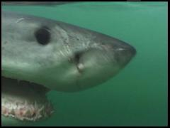 Great White Shark UW2 04 Stock Footage