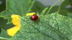 Ladybug Stock Footage