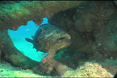 Goliath Grouper UW2 05 - stock footage