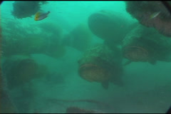 Goliath Grouper School UW2 08 Stock Footage