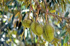 Stock Photo of durian on tree