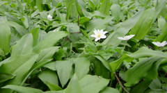 Wild garlic (Allium ursinum) plants and windflower Stock Footage