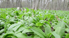 Wild garlic (Allium ursinum) plants Stock Footage
