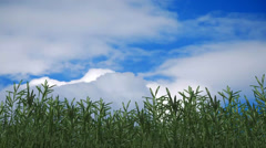 Bamboo in the wind Stock Footage