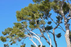 Maritime pine trees, Antibes - stock photo