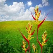Stock Illustration of Parrot Heliconia with field background