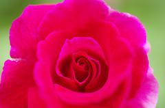 Stock Photo of red rose closeup