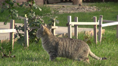 Curious striped cat in the garden, funny animal, pet, stray looking for prey Stock Footage