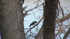 Single crow taking off from a tree, black bird, lake, winter Stock Footage
