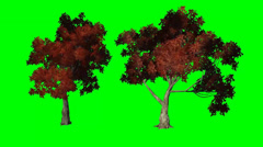 Red maple moves in wind  - green screen Stock Footage