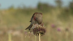 Small bird Eurasian Linnet eating Stock Footage