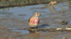 Small bird Eurasian Linnet bathing in to water in a hot day Stock Footage