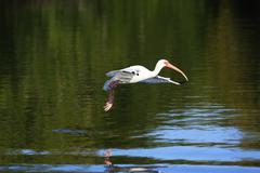 White ibis (eudocimus albus) flying Stock Photos