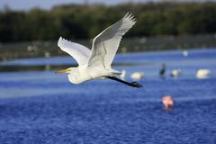 great egret (ardea alba) flying - stock photo